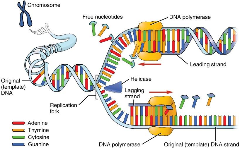 Dna Replication Steps Diagram Expii