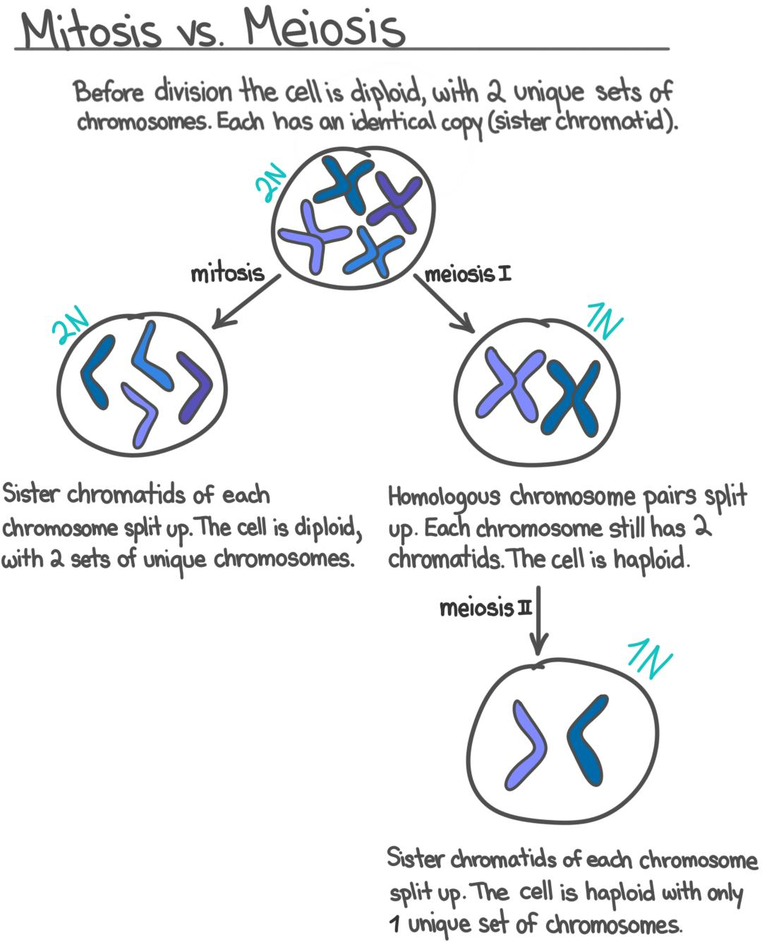 S Phase Interphase Overview Diagrams Expii