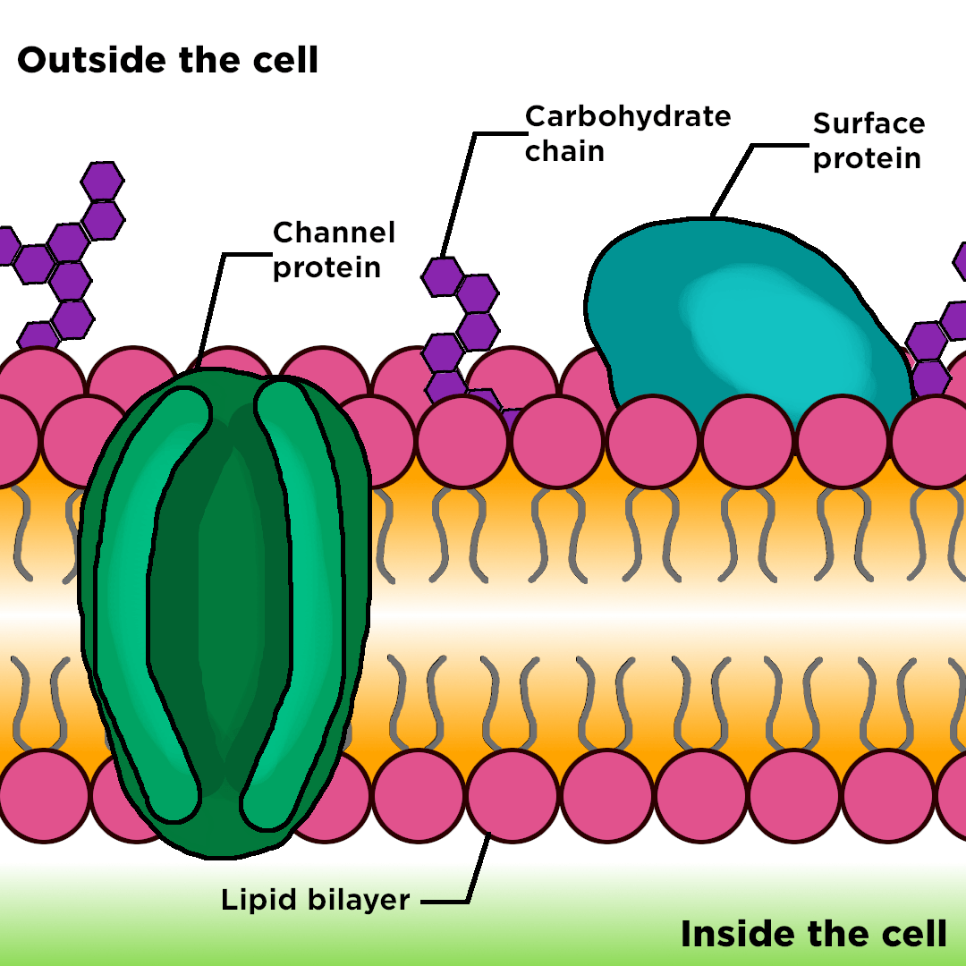 Cell Membrane  U2014 Structure  U0026 Function