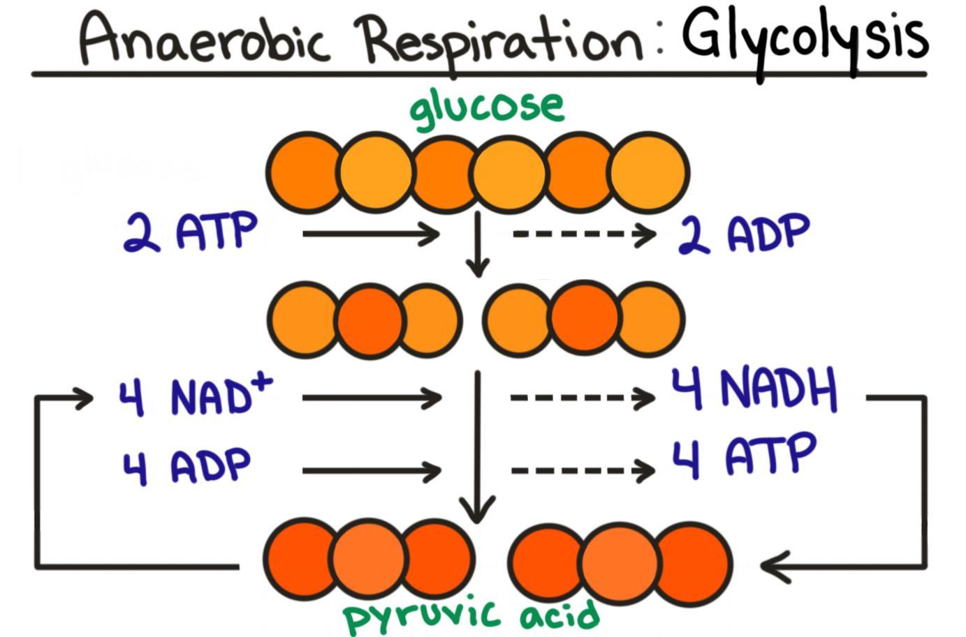 Glycolysis Cellular Respiration Summary Steps Expii