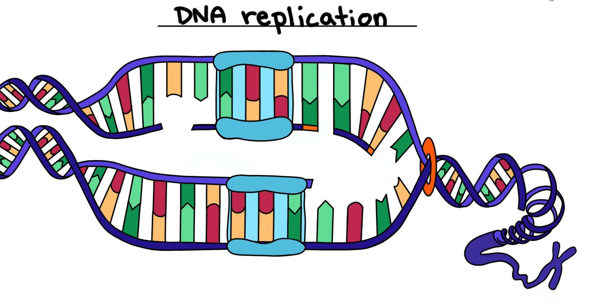 Що відбувається, коли ваші клітини діляться? Реплікація ДНК
