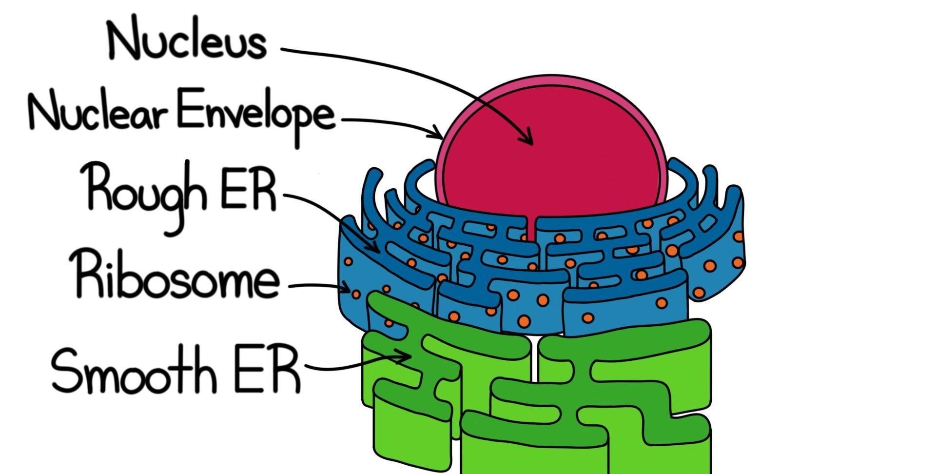 Rough Endoplasmic Reticulum (RER) — Structure & Function ...