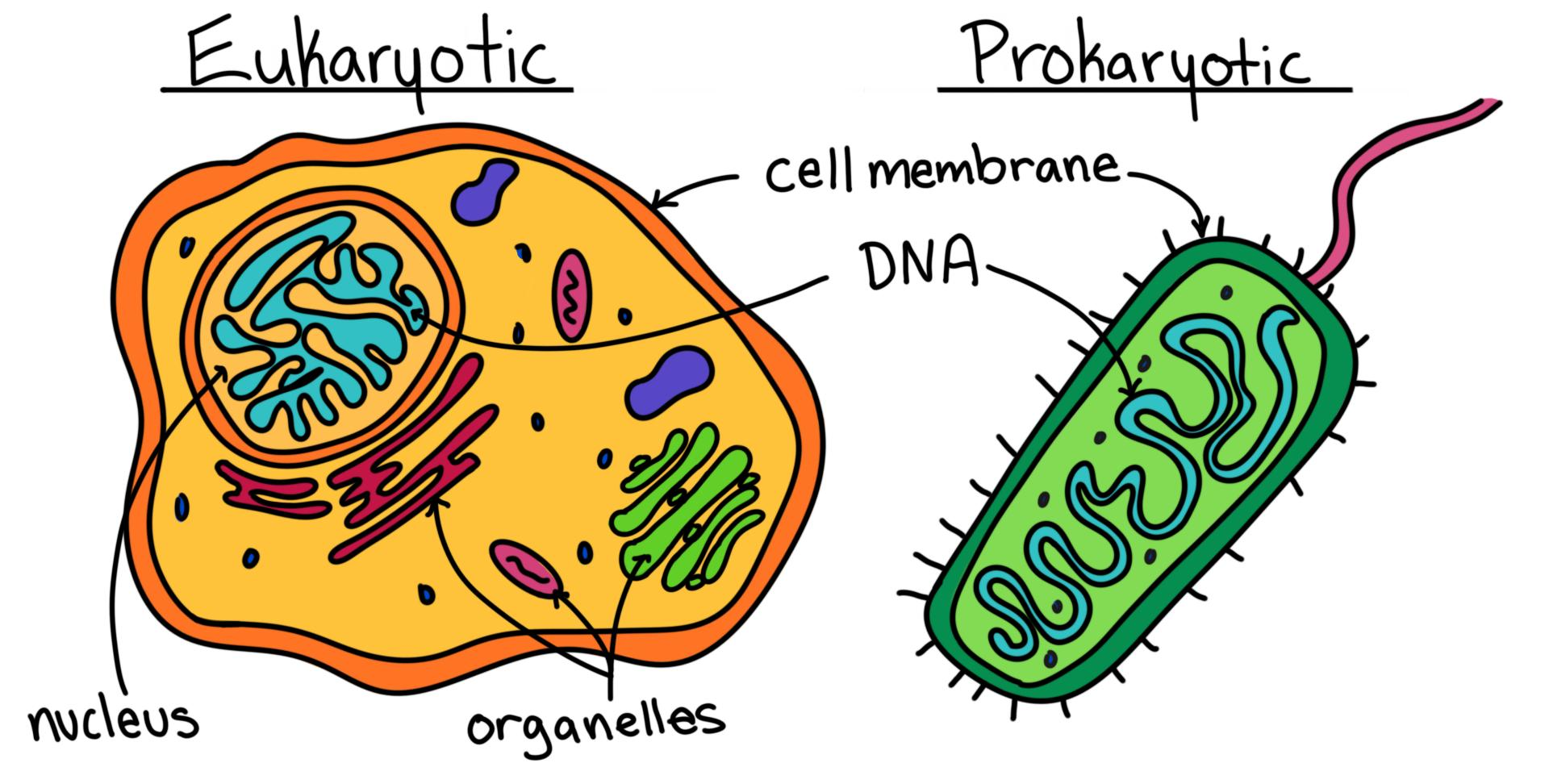 Де знаходиться ДНК? Еукаріотичні клітини. Прокаріотичні клітини.