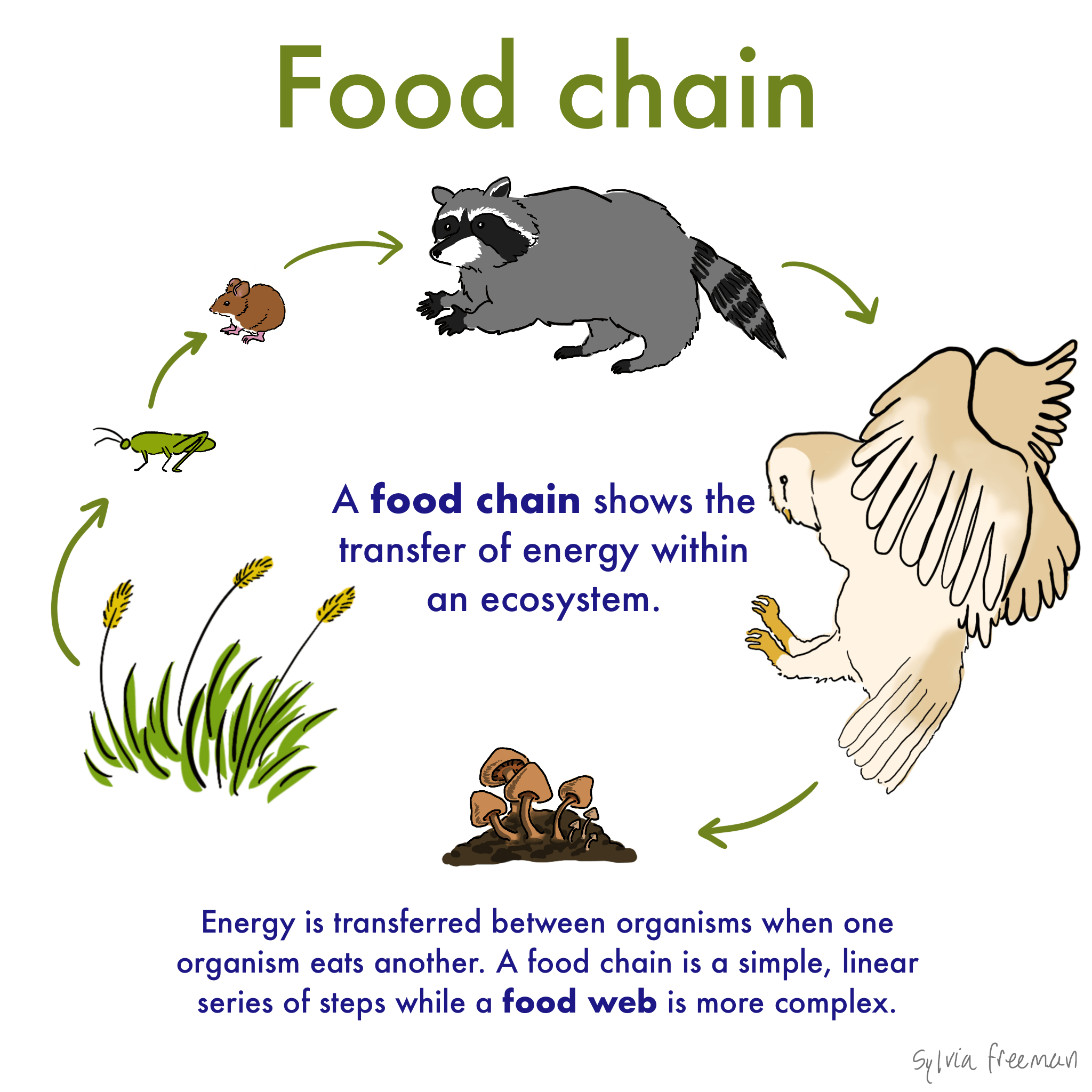 Food Chain  U2014 Definition  U0026 Examples