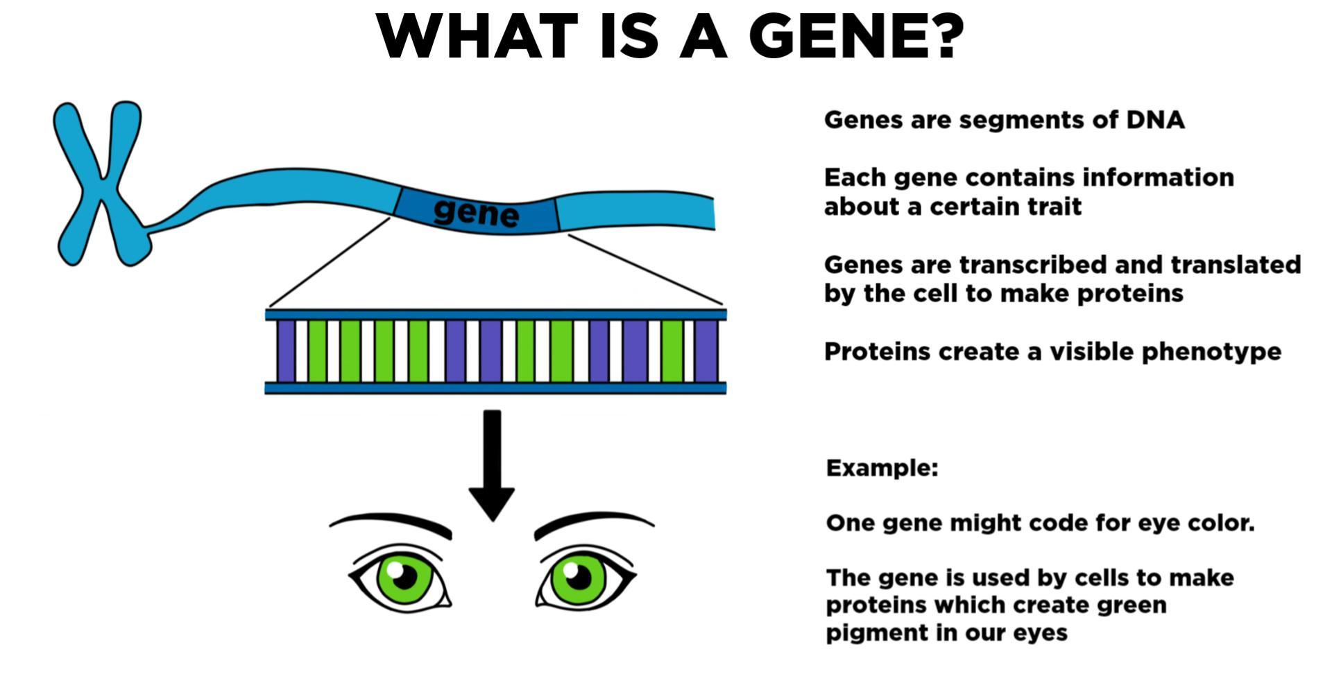 Gene — Definition & Role in Inheritance - Expii