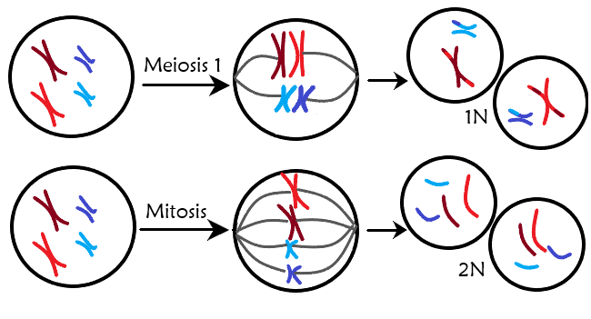 What Is Meiosis Expii