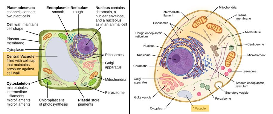 Vacuoles — Structure & Function - Expii