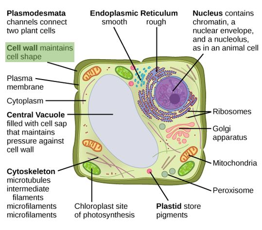 Cell Wall — Structure & Function - Expii
