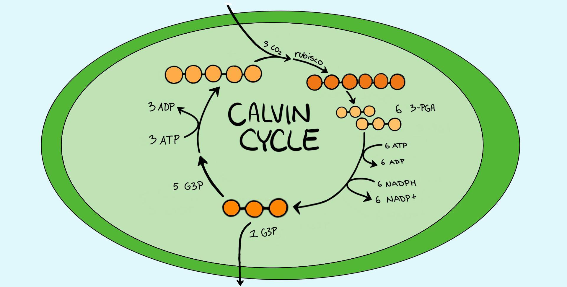 Calvin Cycle Dark Reaction Expii