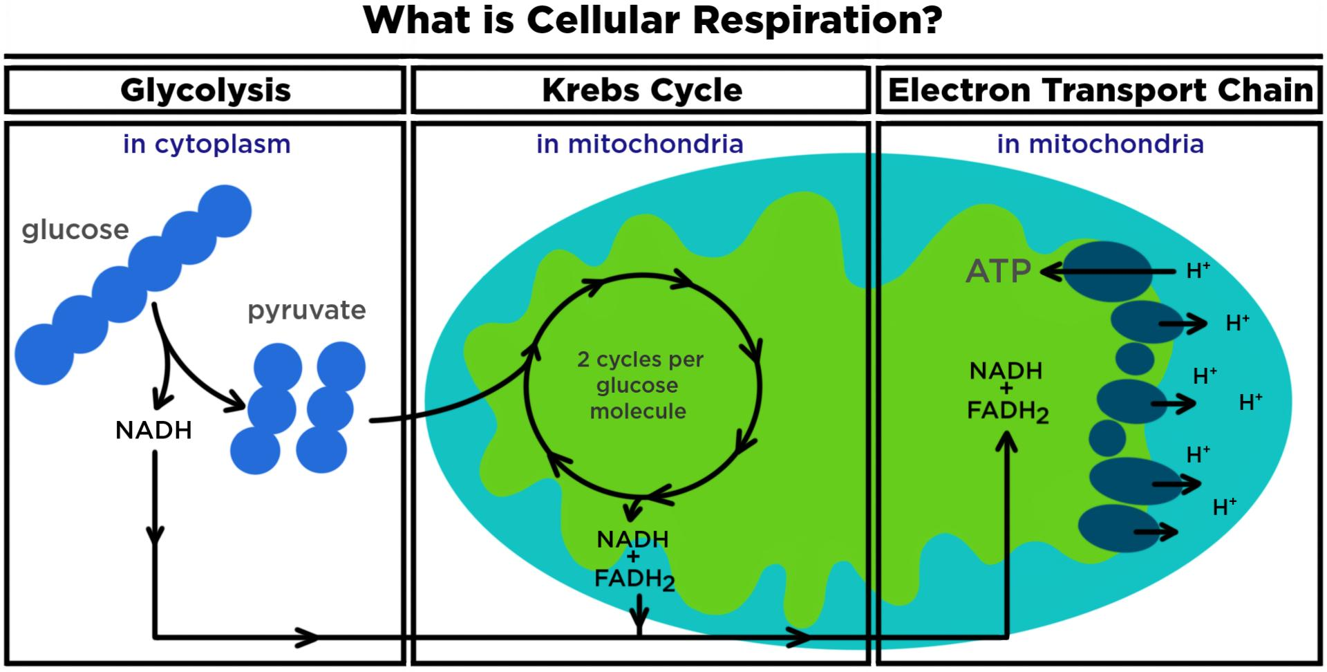 What Is Cellular Respiration Aerobic Anaerobic Expii