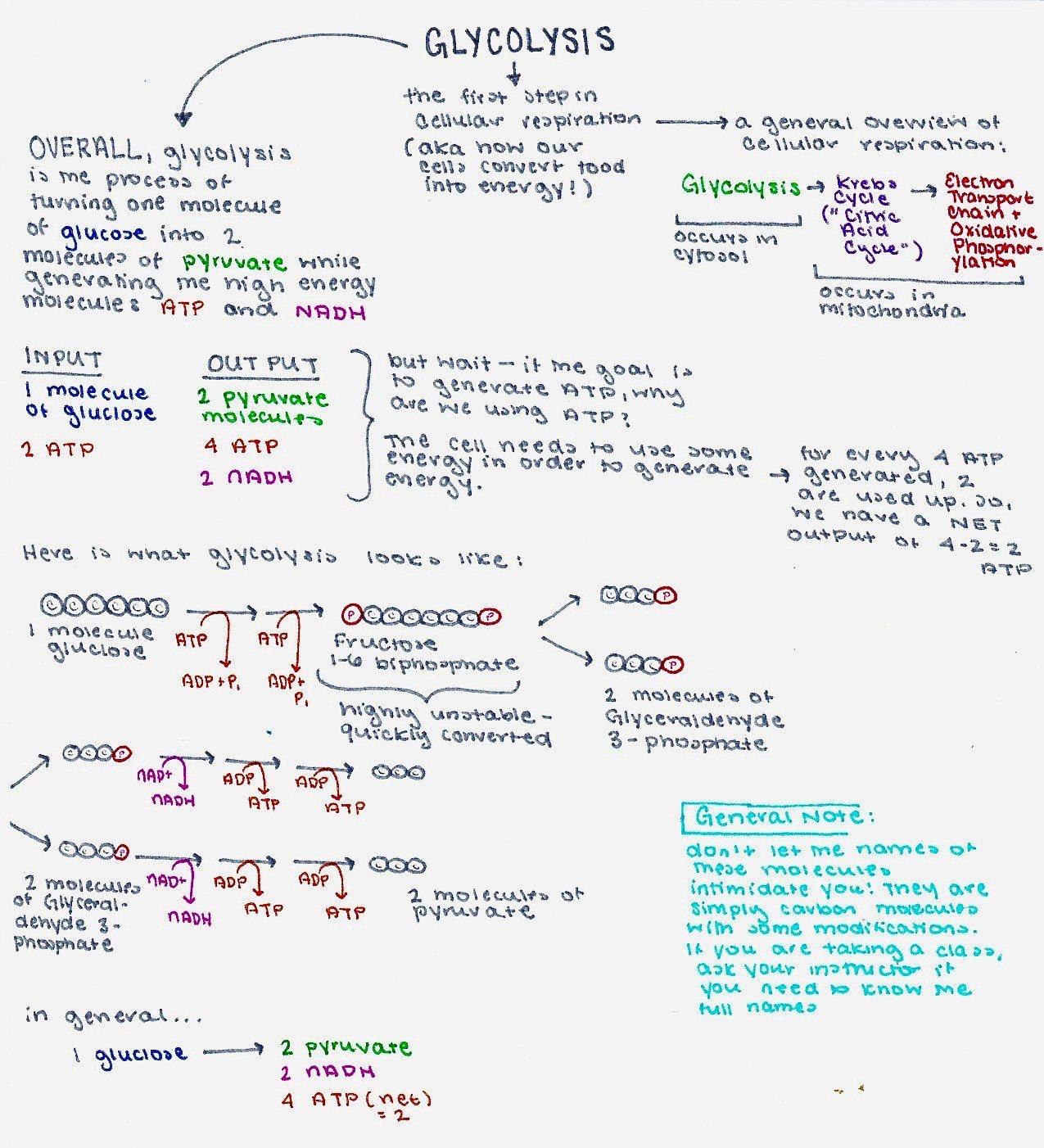 Glycolysis (Cellular Respiration) — Summary & Steps - Expii