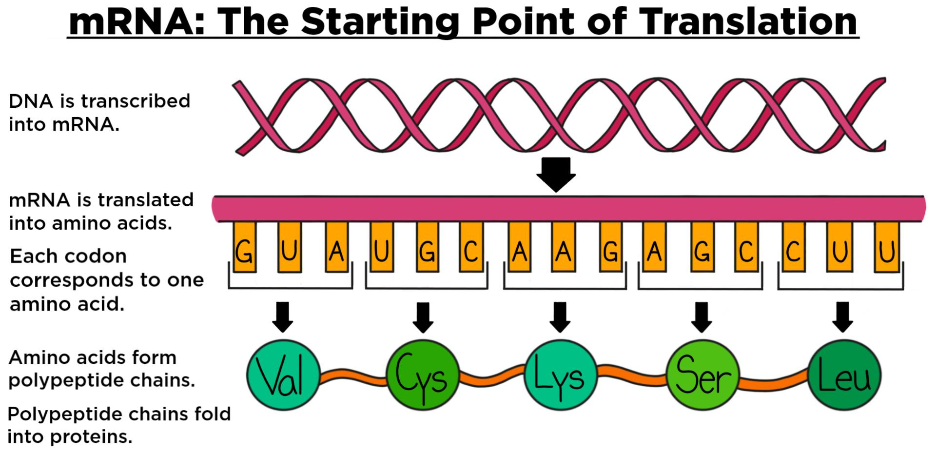 Messenger RNA (mRNA) — Overview & Role in Translation - Expii